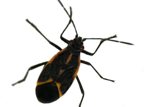 Boxelder Bug Pest Control