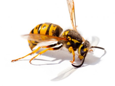 GoGreen Wasp Pest Control