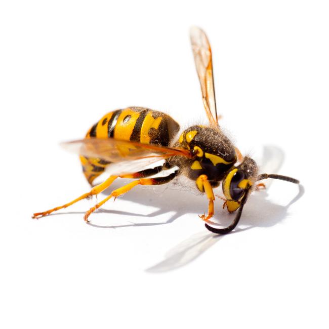 GoGreen Wasp Pest Control